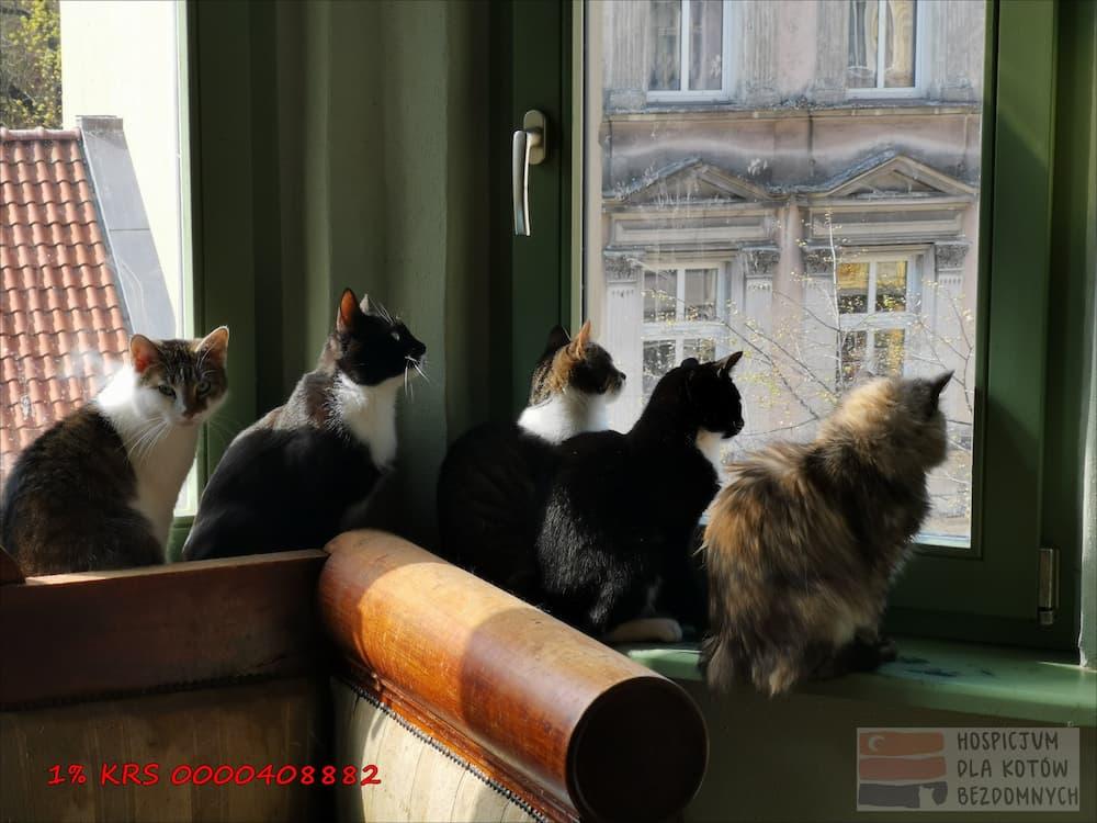 Pięć kotów siedzi na parapecie: cztery wpatrują się w okno, jeden w obiektyw.