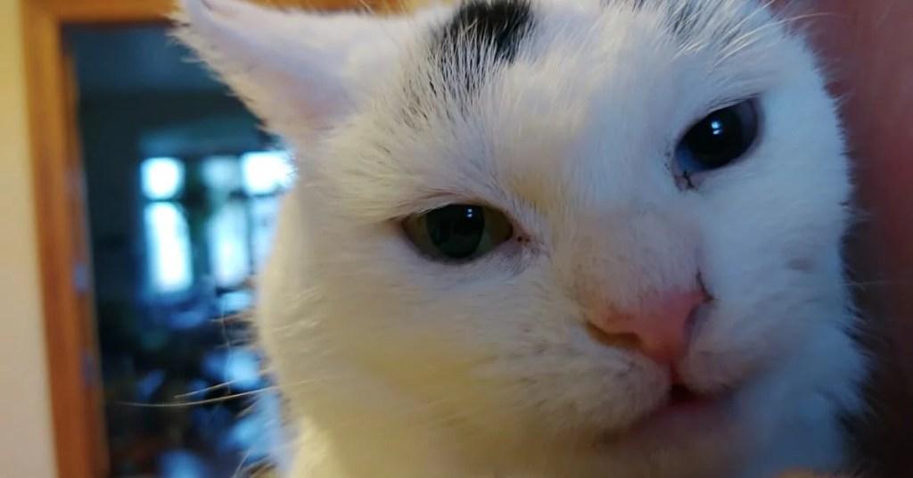 Biała kotka Biji z różnokolorowymi tęczówkami na tle Kociego Hospicjum