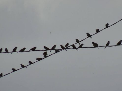 Maya birds on electric wires, waiting to attack the grains of palay (rice) in the rice fields. Photo and caption by Lito Ocampo, used with permission