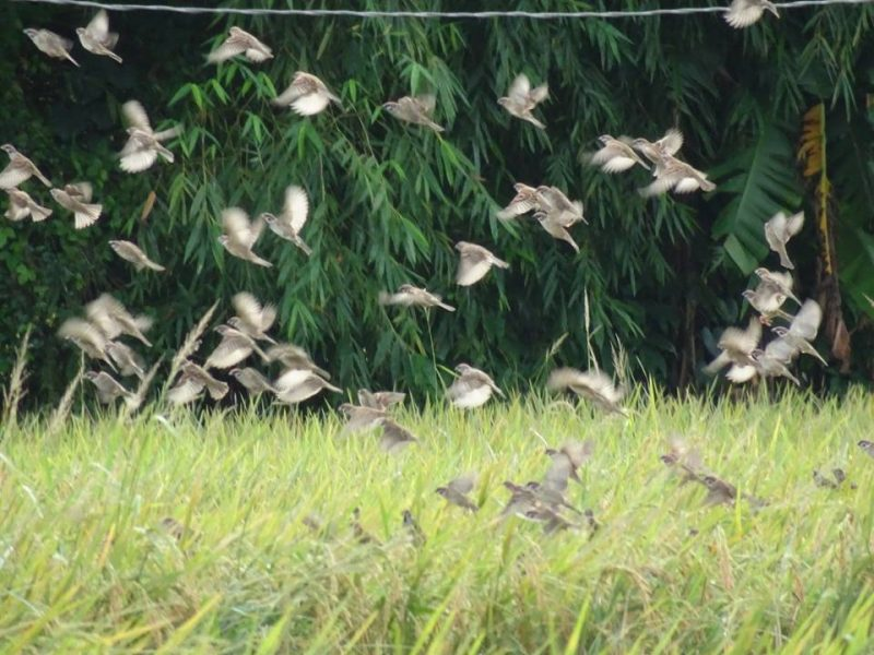 Maya birds at the rice fields. Photo and caption by Lito Ocampo, used with permission