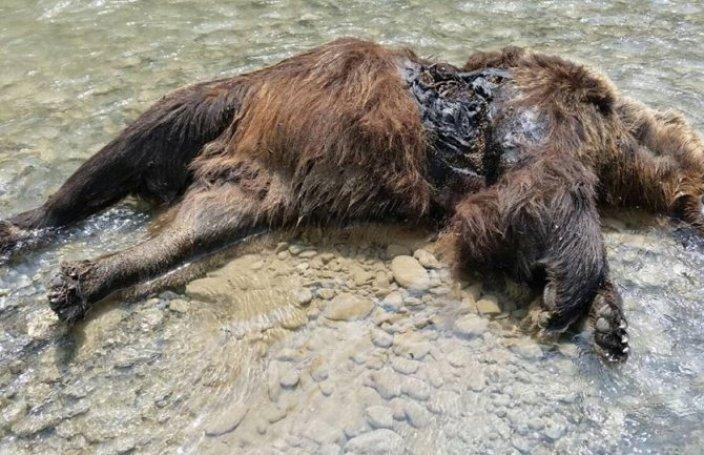 Veterinar utvrdio: Mrki medvjed odstrijeljen(FOTO)