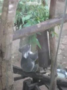カオキアオ動物園のコアラ