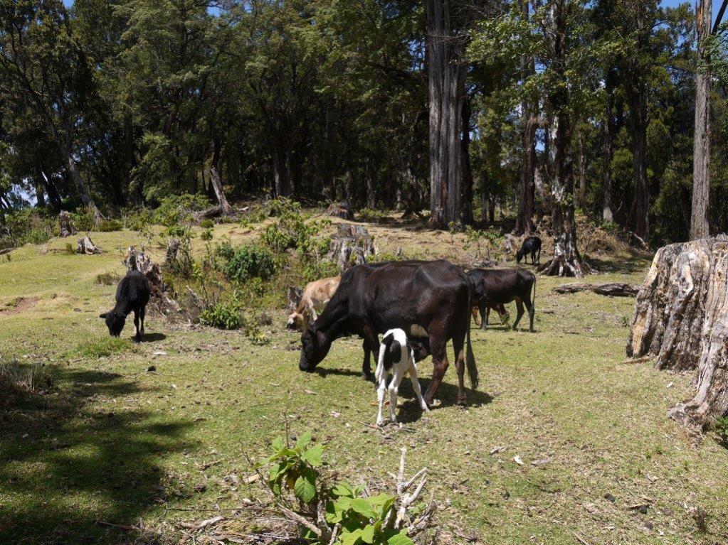 koeien aan rand woud