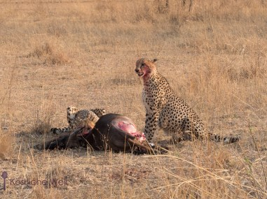 Geparden mit Riss im Entabeni Safari Conservancy / Cheetah with their kill at Entabeni Safari Conservancy