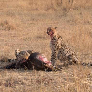 Geparden mit Riss im Entabeni Safari Conservancy / Cheetah with their kill at Entabeni Safari Conservancy