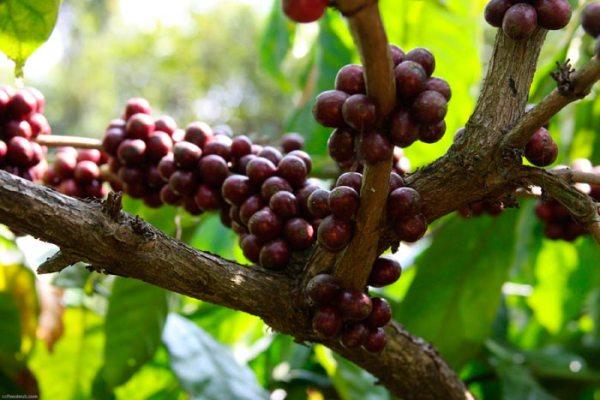 Как и где растет кофе, страны-производители, лидеры по ...