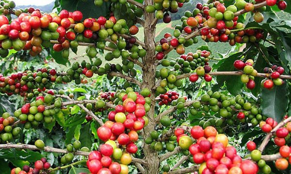 Как растет кофе и кофейное дерево. Условия выращивания кофе