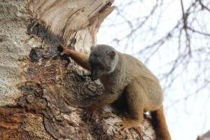23 lemur