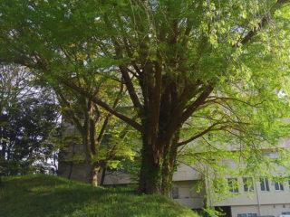 お堀沿いの樹
