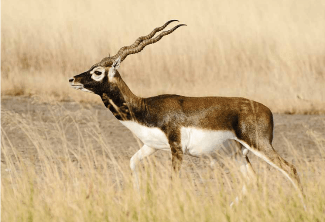Blackbuck @ Velavadar National Park, Gujarat