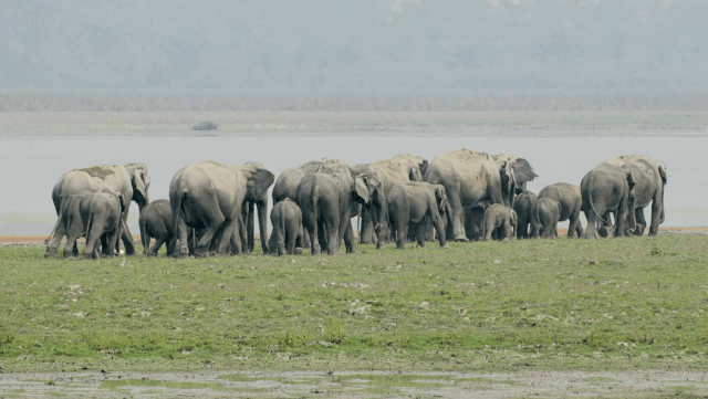 Asiatic Elephant- Kaziranga National Park, Assam