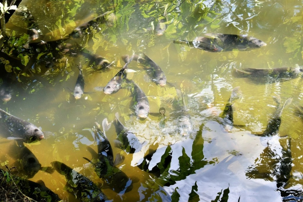 Catfishes in Catfish Farm Krabi