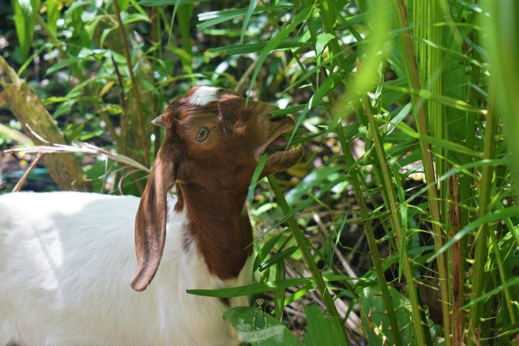 Lamb munching on grass - Giant Catfish Farm Ao Nang