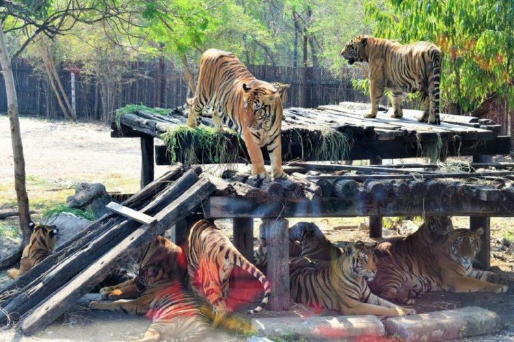 Tiger - Safari World Bangkok