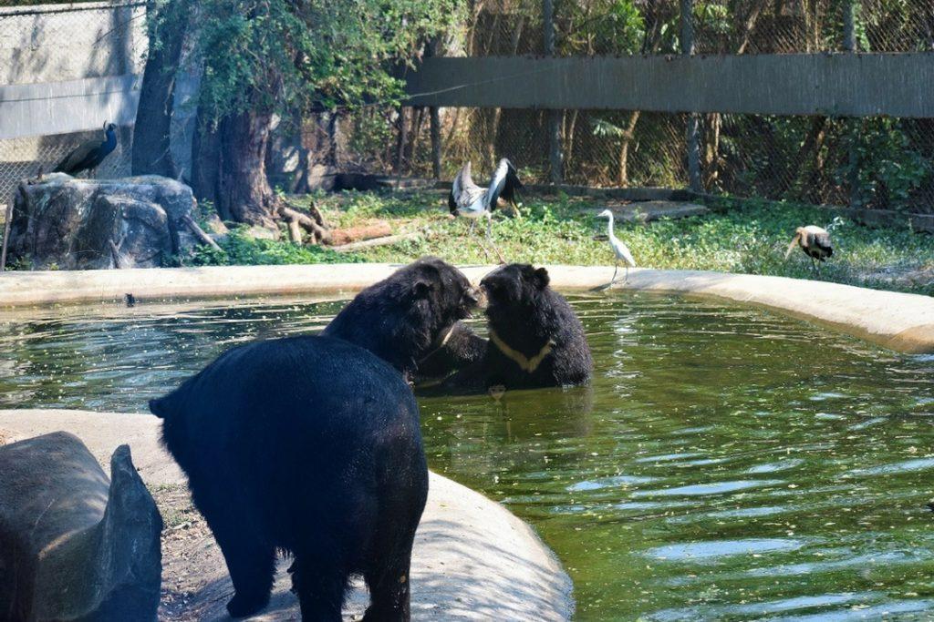 Bears in Safari World