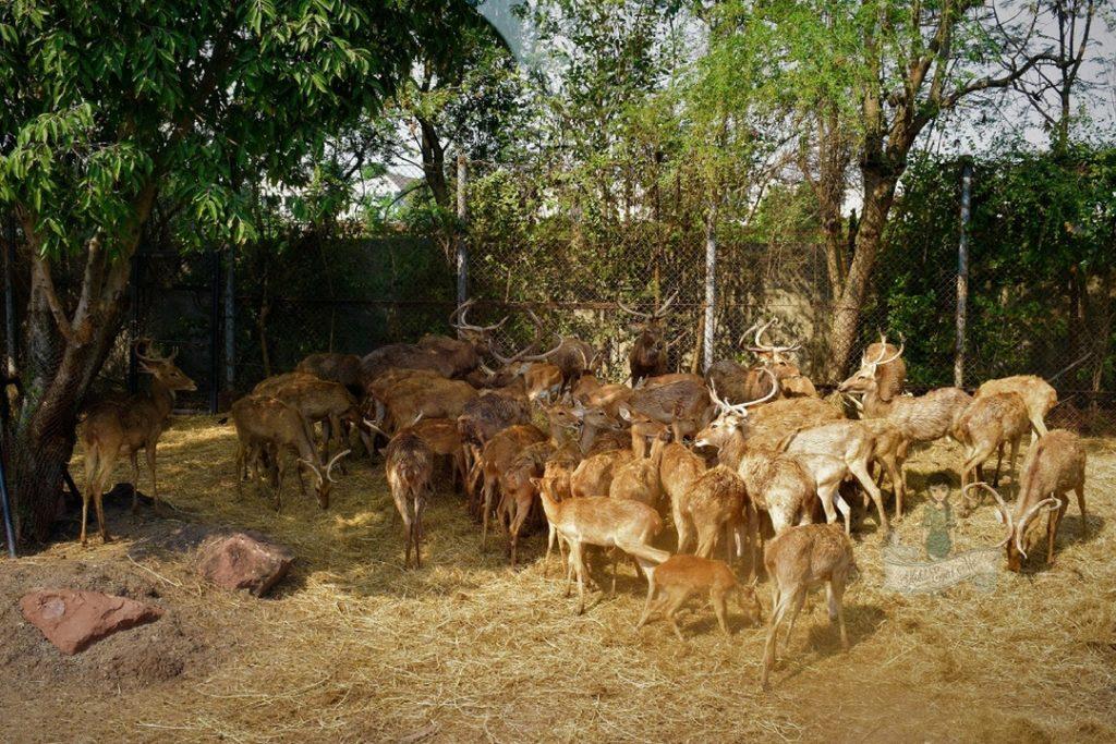 Sambar Deer Blackbuck Safari World