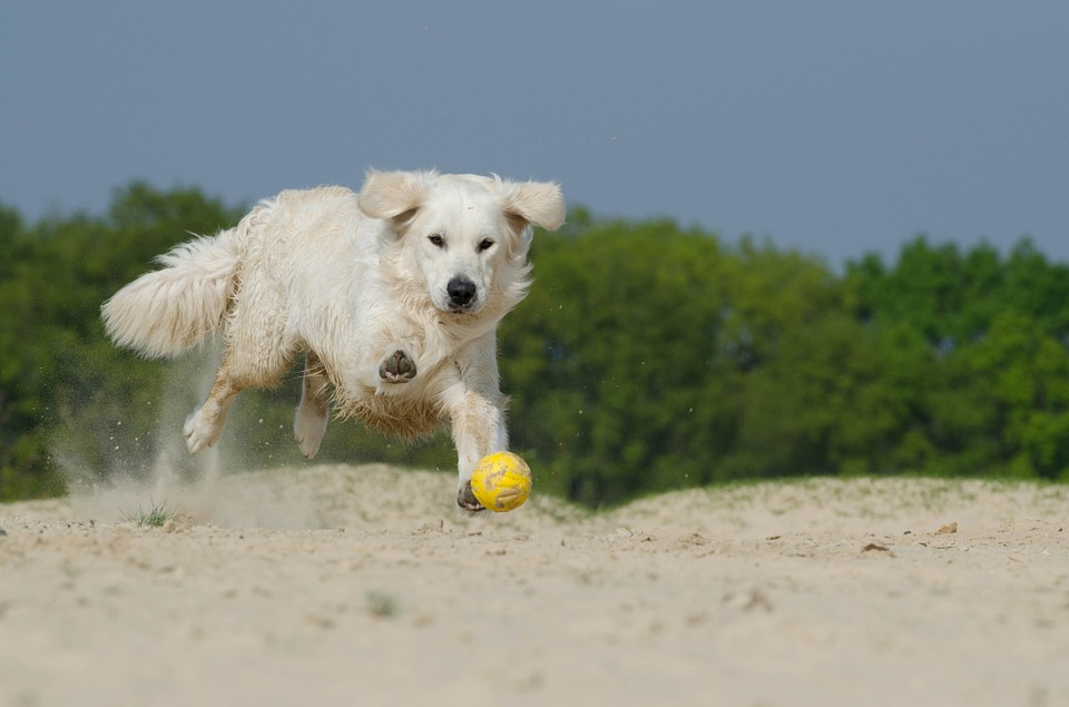 golden-retriever-beach-play