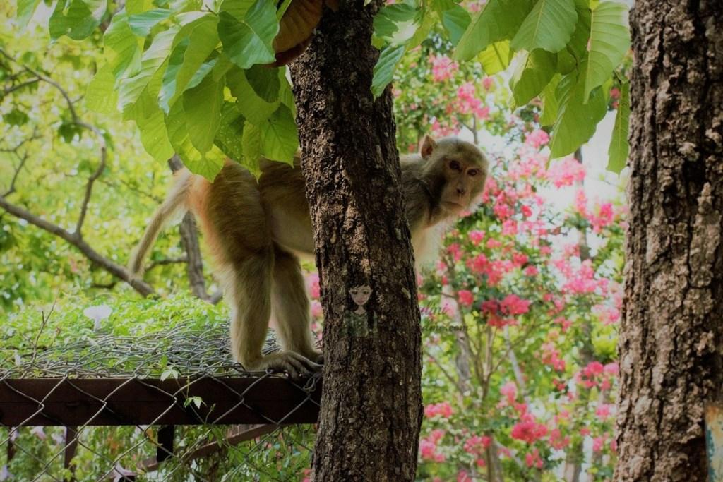 Malsi Deer Park animals - Dehradun Zoo Monkey kohleyedme.com