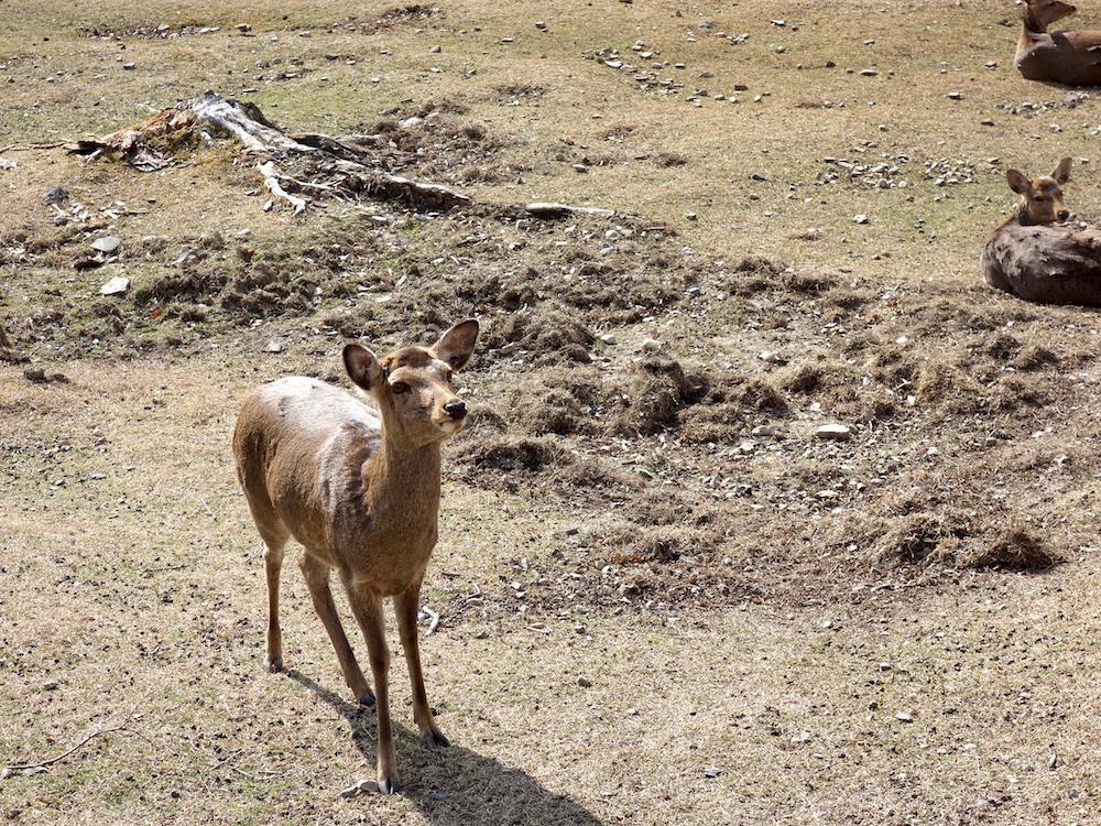奈良公園,鹿,シカ,天然記念