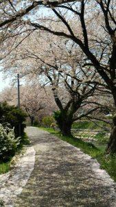 吉野瀬川の桜2