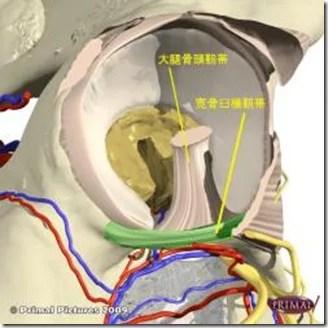 股関節痛み原因治療 寛骨臼横靭帯(横)