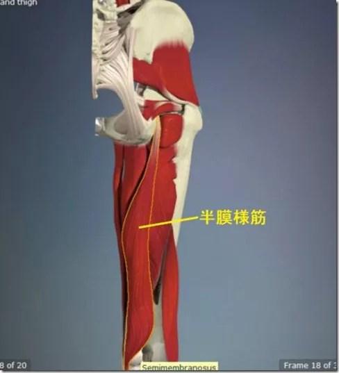 股関節痛み原因治療 半膜様筋4.5