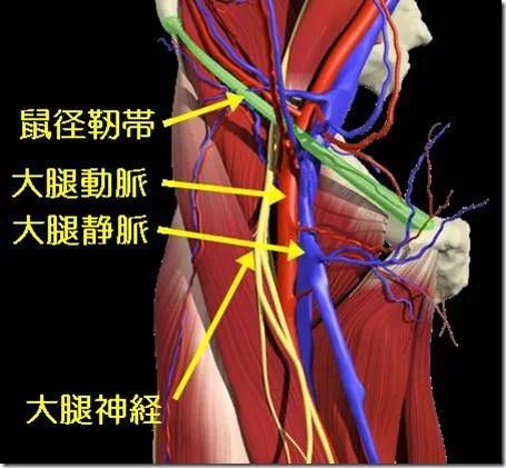 鼠径靭帯1