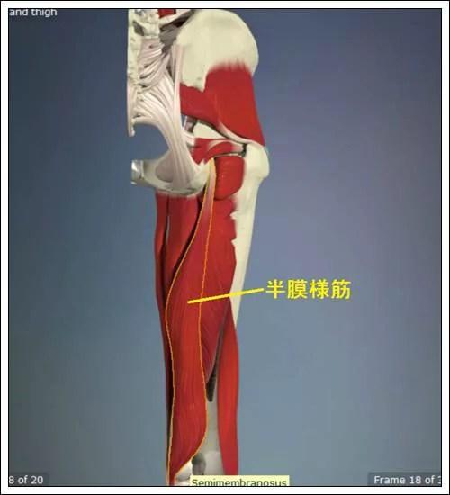 ハムストリングス 半膜様筋解剖