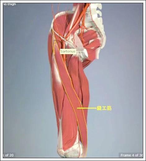 股関節痛み原因治療 縫工筋4.7