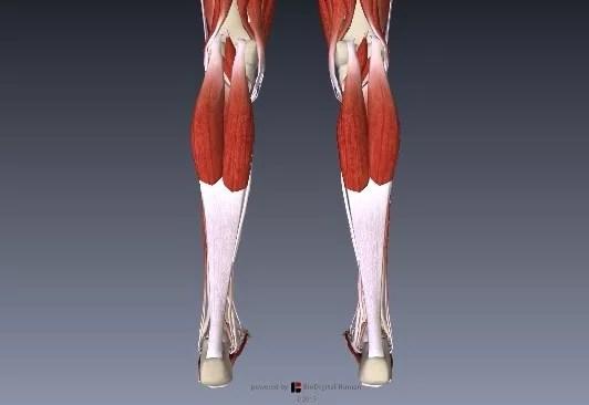 アキレス腱下腿三頭筋解剖1