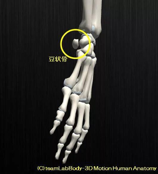 膝蓋骨の解剖、その役割と可動性。お皿はどれぐらい動くのか?11