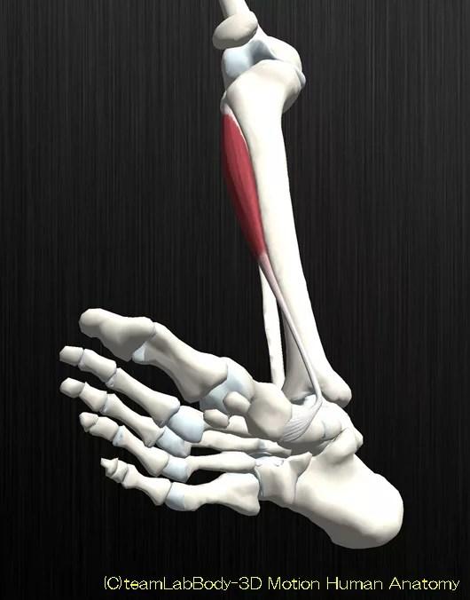 前脛骨筋の解剖イラスト図3