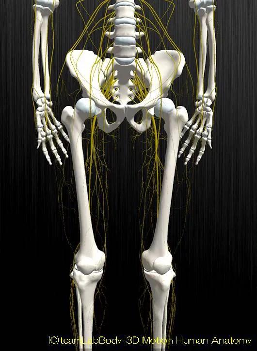 下肢神経解剖図イラスト図4