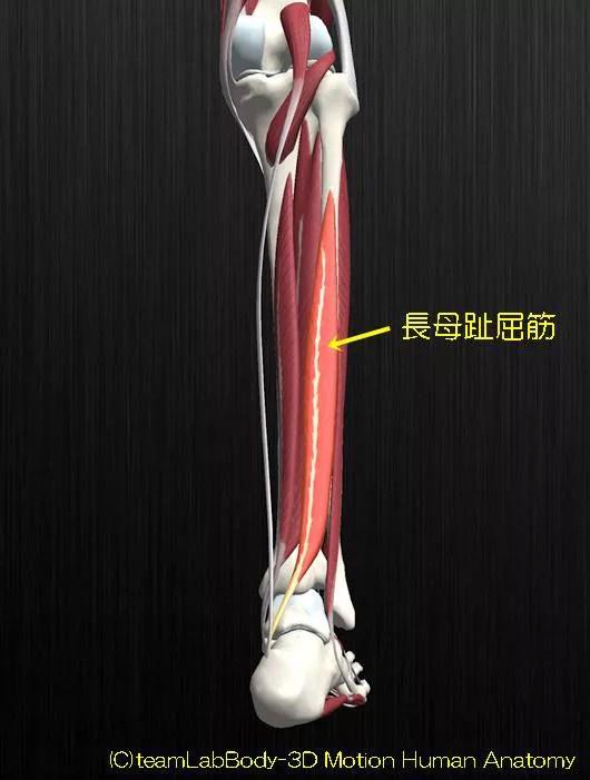 長趾屈筋解剖イラスト図1