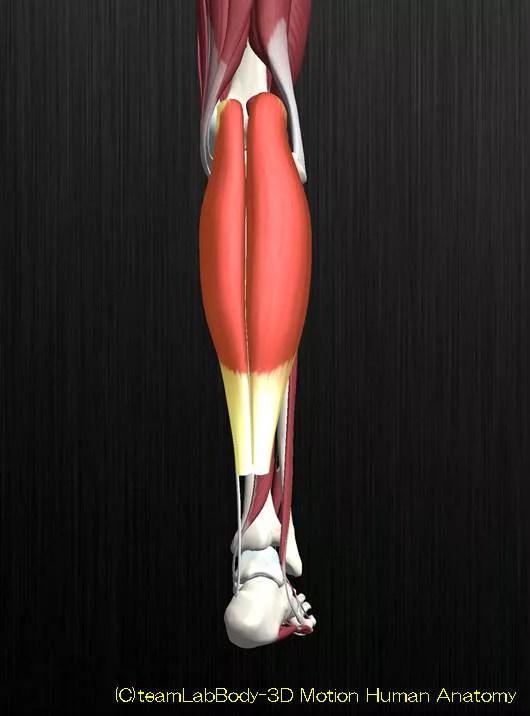 腓腹筋解剖図イラスト1