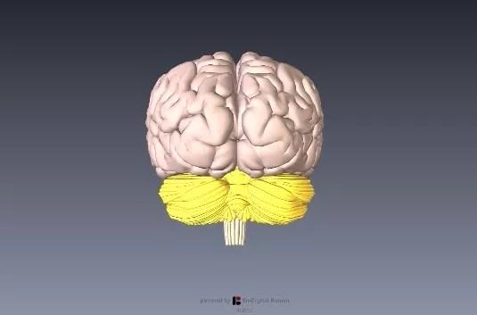 小脳解剖図イラスト3