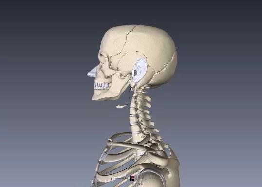 小脳解剖図イラスト1