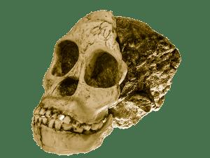 Australopithecus africanus. Casquería