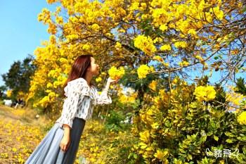 2020黃花風鈴木 初春最美風景的黃金花海盛開!嘉義台中三處景點分享來了!