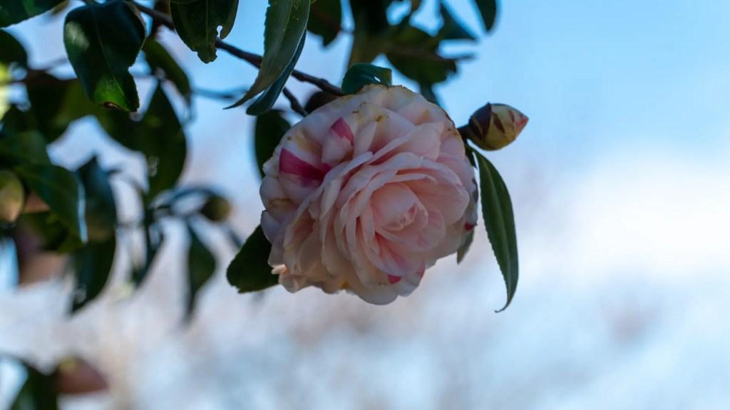 権現山に咲く白いツバキ