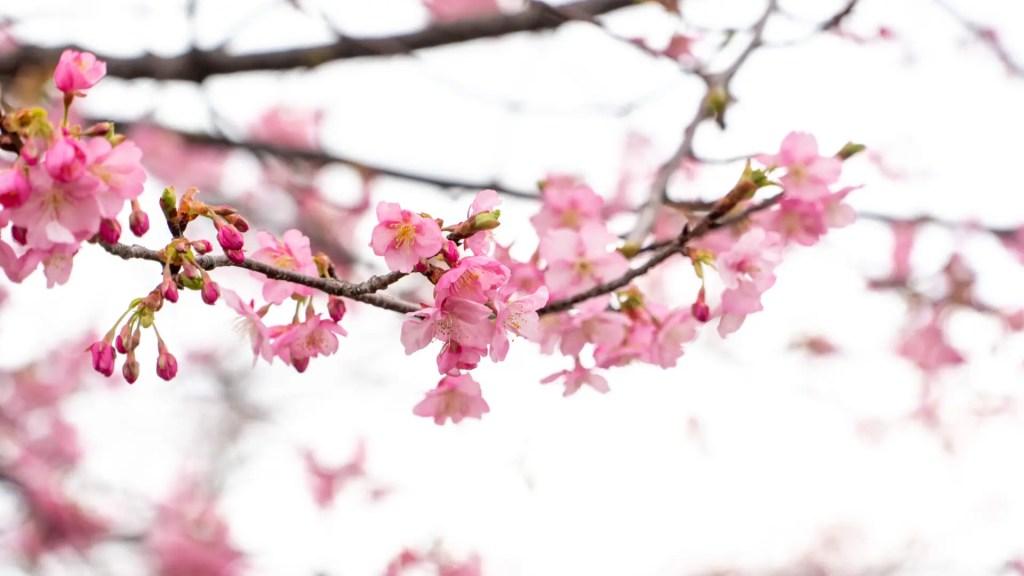 西海橋の河津桜