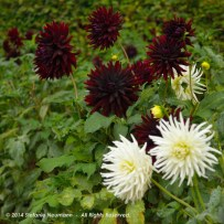 Dark Dahlias for Halloween 2 © Stefanie Neumann - All Rights Reserved.