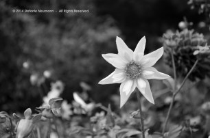 Shades of Grey - Dahlia Reflections 4 © Stefanie Neumann - All Rights Reserved.