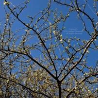 First Spring Messengers 2014 3 © Stefanie Neumann - All Rights Reserved.
