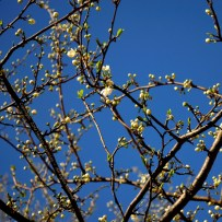 First Spring Messengers 2014 6 © Stefanie Neumann - All Rights Reserved.