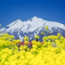 菜の花と岩木山