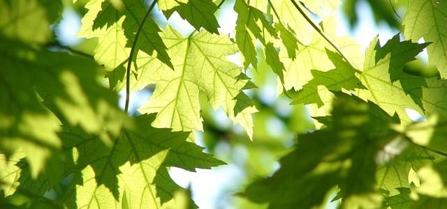 緑のカエデの画像
