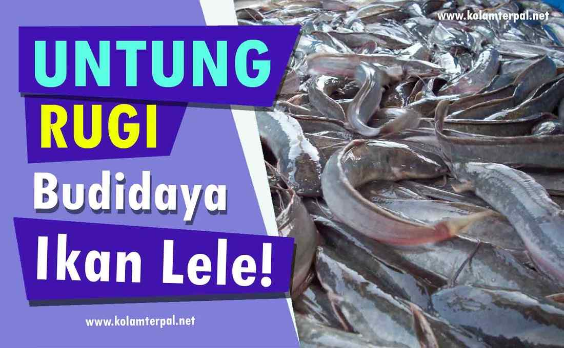 Mau Sukses Ternak Lele? Untung Rugi Budidaya Ikan Lele ini WAJIB Anda Ketahui!