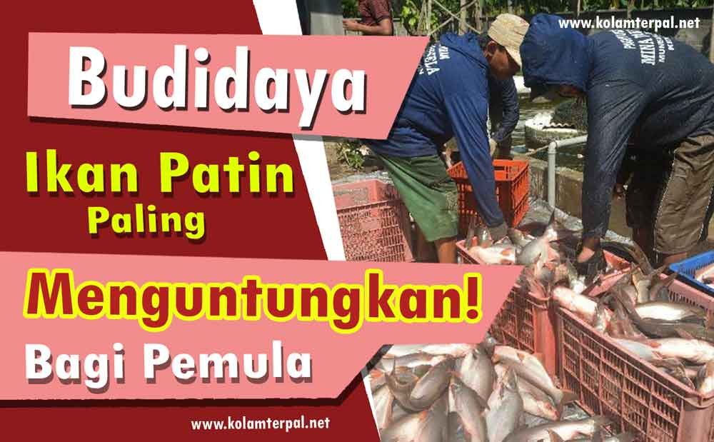 Budidaya Ikan Patin Paling Menguntungkan Bagi Pemula