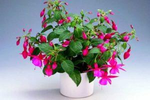 Kukat ja kasvit, jotka houkuttelevat rahaa taloon - Fuchsia